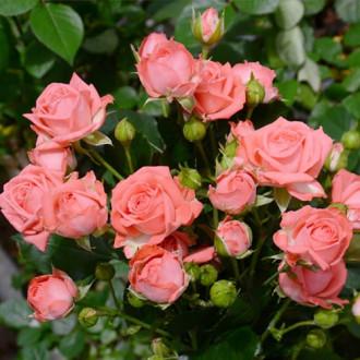 Троянда спрей Барбадос зображення 4