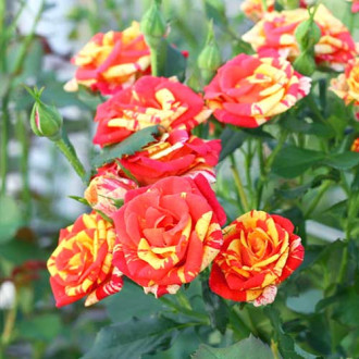 Роза спрей Файер Флеш рисунок 7