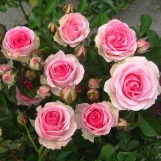 Троянда спрей Мімі Еден зображення 2