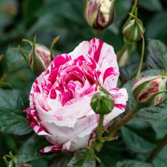 Троянда спрей Найт Флеш зображення 4