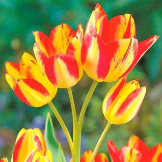 Тюльпан багатоквітковий Флоретте зображення 8
