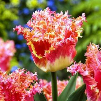 Тюльпан бахромчастий Джойнт Дівіжн зображення 8