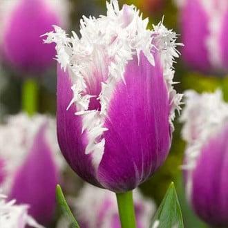 Тюльпан бахромчатый Камминс рисунок 3
