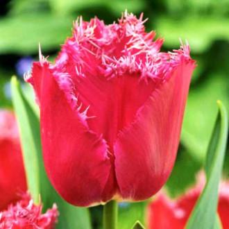 Тюльпан бахромчатый Мустанг рисунок 2