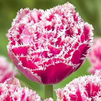 Тюльпан бахромчатый Брест рисунок 8