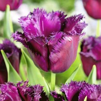 Тюльпан бахромчастий Горила зображення 7