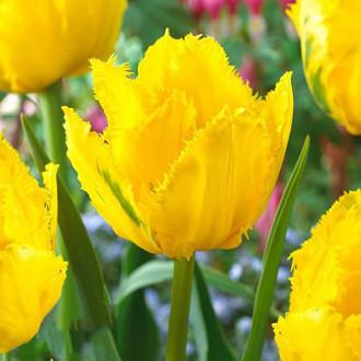 Тюльпан бахромчастий Кріспі Мері зображення 5