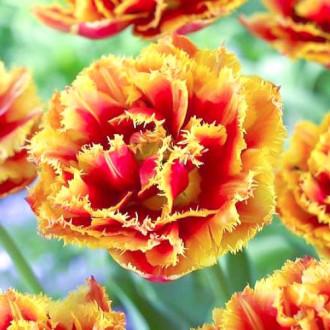 Тюльпан бахромчатый Криспион Бьюти рисунок 7
