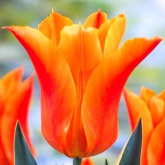 Тюльпан лілієвидний Баллад Оранж зображення 2