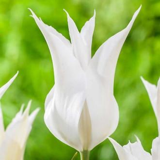 Тюльпан лілієвидний Баллада Вайт зображення 6