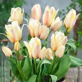 Тюльпан Грейга Альбіон Стар зображення 4