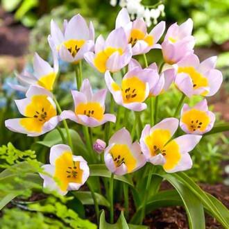 Тюльпан ботанічний Лілак Вандер зображення 4