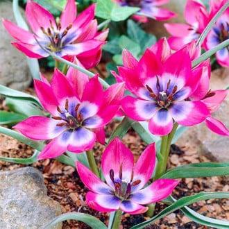 Тюльпан ботанический Литтл Бьюти рисунок 3