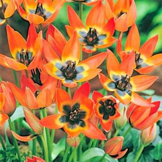 Тюльпан ботанічний Літл Прінцесс зображення 2