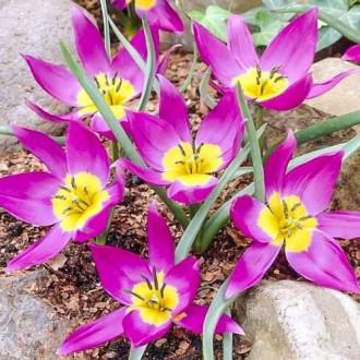Тюльпани ботанічний Одаліск зображення 1