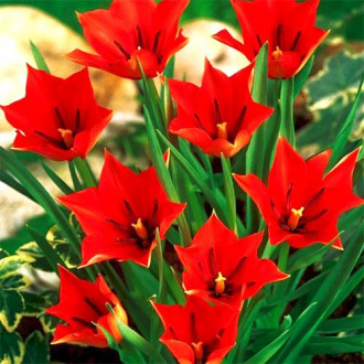 Тюльпан ботанический Ред Хантер рисунок 2