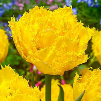 Тюльпан бахромчастий Екзотік Сан зображення 7