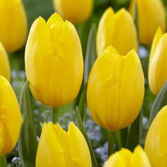Тюльпан багатоквітковий Фетс Доміно зображення 3