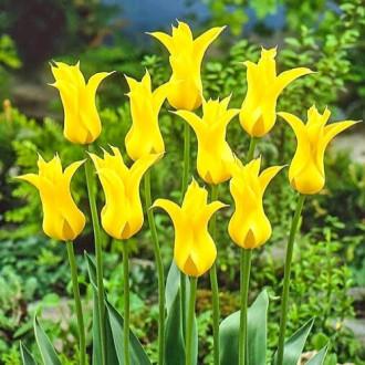 Тюльпан лилиецветный Флешбек рисунок 5