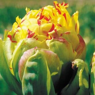 Тюльпан махровый Фрейджюс рисунок 5