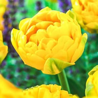 Тюльпан махровый Голд Февер рисунок 7