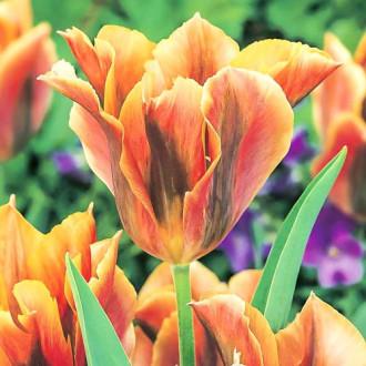 Тюльпан зеленоквітковий Голден Артист зображення 2