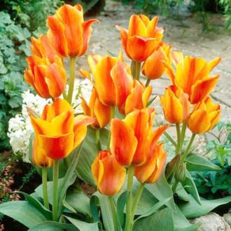 Тюльпан Грейга Компостелла зображення 7