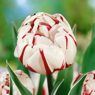 Тюльпан махровий Карнавал де Найс зображення 4