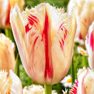 Тюльпан бахромчатый Карусель рисунок 1
