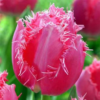 Тюльпан бахромчатый Кашарель рисунок 8