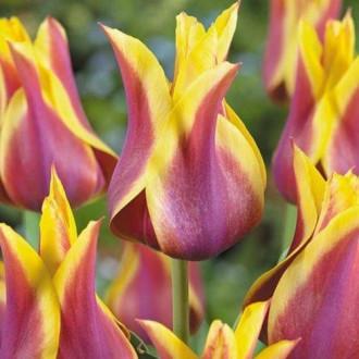 Тюльпан лілієвидний Баллада Дрім зображення 7