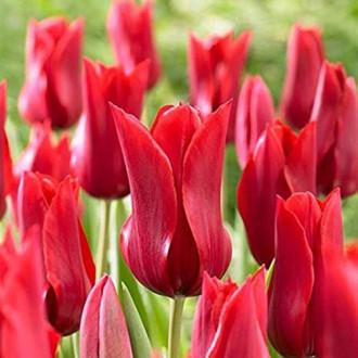 Тюльпан лилиецветный Ред Шайн рисунок 8