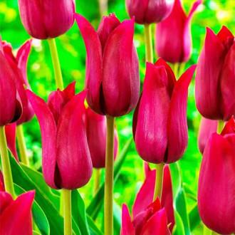 Тюльпан лилиецветный Лилироза рисунок 1