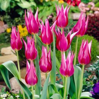Тюльпан лілієвидний Ліліледі зображення 3