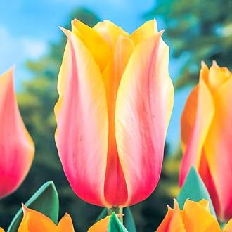 Тюльпан Лонг Леді зображення 4