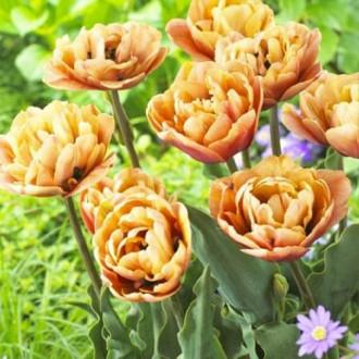 Тюльпан махровый Ла Бель Эпок рисунок 5