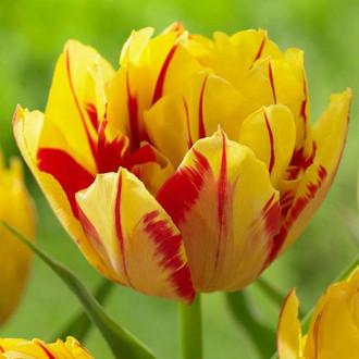 Тюльпан махровый Монселла рисунок 6