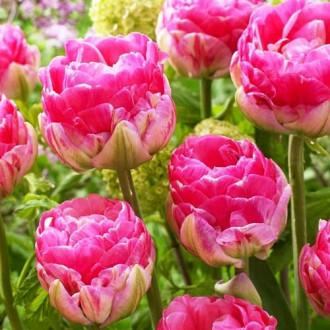 Тюльпан махровий Ап Пінк зображення 6