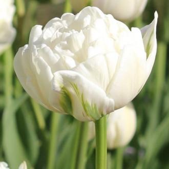 Тюльпан махровий Ап Вайт зображення 6
