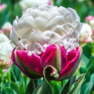 Тюльпан махровый Дабл Полар рисунок 7