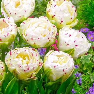 Тюльпан махровий Денс Лайн зображення 5