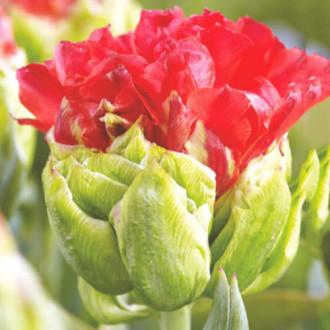 Тюльпан махровий Дабл Кросбі зображення 3