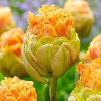 Тюльпан махровый Ле-Лаванду рисунок 4
