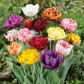 Тюльпан махровий Лейт, мікс зображення 3