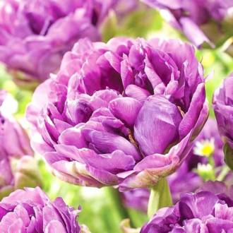Тюльпан махровий Лілак Перфекшн зображення 1