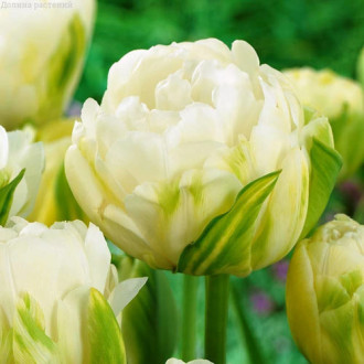 Тюльпан махровый Дабл Маурин рисунок 6