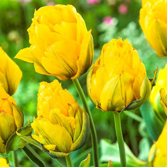 Тюльпан махровий Монте Піон зображення 6