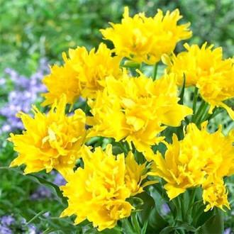 Тюльпан лілієвидний Монте Спайдер зображення 7
