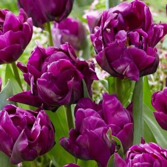 Тюльпан махровий Перпл Джекет зображення 1