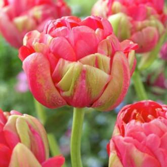 Тюльпан махровий Реноун Юнік зображення 3